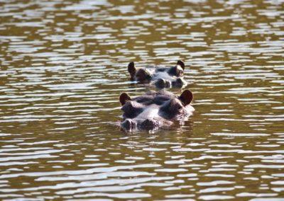 african safari hippo