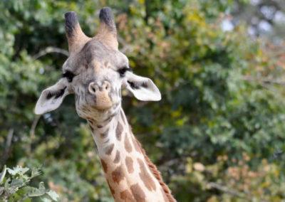 bushveld giraffe