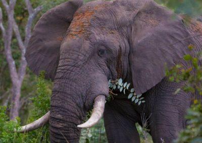 nedile lodge elephant