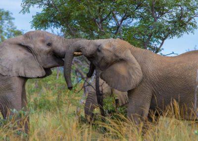 nedile lodge elephants