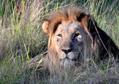 safari big 5 lion
